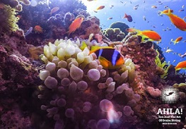 clown-fish-diving-in-eilat